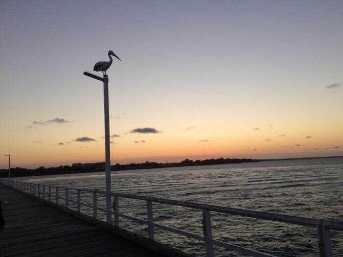 Pelicans on the Urangan Pier