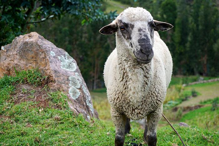 peru sacred valley sheep