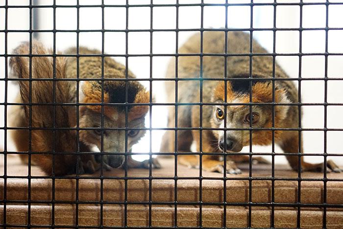 different-lemur-breeds-duke-lemur-center