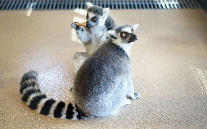 lemurs-duke-madagascar